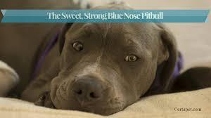 Average Pitbull Weight Chart The Sweet Strong Blue Nose Pitbull Certapet