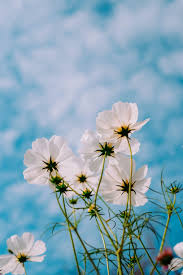 White Blue Flowers HD Wallpapers ...