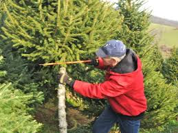 ... Find and Cut Down Your Own Perfect Christmas Tree-0 ...