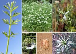 Nigella damascena L. - Sistema informativo sulla flora vascolare dei ...