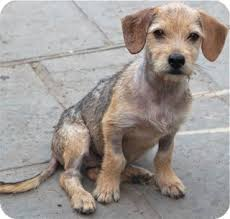 wire haired terrier mix. Perfect Wire Adopted On Wire Haired Terrier Mix R