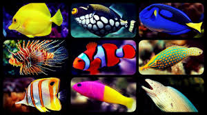 Clown Fish Identification Chart Types Of Saltwater Aquarium Fish Coral Reef Tank Fish Sharks Puffers Clownfish