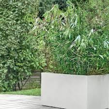 Bambou Moyen Fargesia Pingwu Plantes Et Jardins