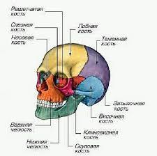 Кости головы череп Строение человека скелет органы мышечная  Череп cranium
