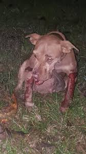 pitbull dog fights caught on tape. Perfect Fights Outpouring Of Help For Pit Bulls In Adams County Dog Fighting Bust  News  Mississippi And Pitbull Dog Fights Caught On Tape
