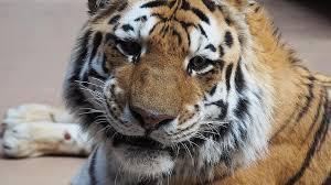 tiger tiger face portrait cat