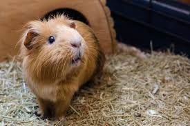 guinea pigs are really social and loving pets they are ty and animated and have fantastic personalities if you re thinking about adopting a guinea pig