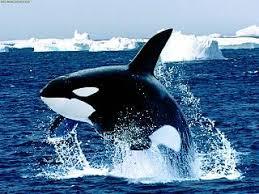 Resultado de imagen de las orcas