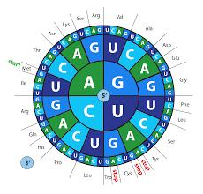 Codon Chart Circle Blue Heron Biotech Llc Gene Synthesis Codon Optimization