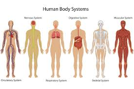 Details About Systems Of Human Body Anatomy Chart Illustration Poster 18x12 Inch