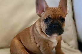 Guide And Tips To Know How To Care For A French Bulldog