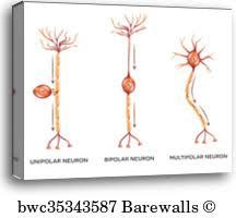 Neuron Types Canvas Print Barewalls Posters Prints Bwc35343587