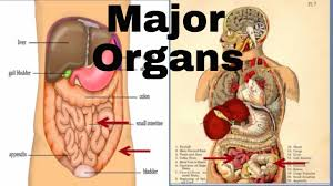 Organs In The Human Body Major Organs Of The Human Body Middle School