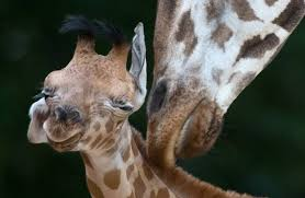 Image of: Pictures Giraffes Mother Nature Network 15 Endangered Animals To Watch In 2015 Mnn Mother Nature Network