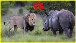 real jungle animals. Beautiful Jungle Animal Fight To Death  Lion Vs Rhino Real In Jungle Struggle  Survive YouTube In Animals E