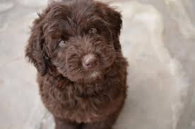 Small Picture Chocolate Labradoodle and Mini Labradoodle Puppies Chocolate