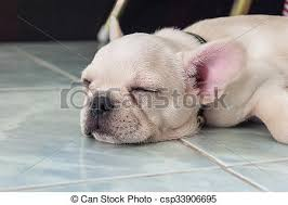 bulldog puppies sleeping.  Sleeping French Bulldog Puppy Sleeping On Ceramic Floor Tiles  Csp33906695 And Bulldog Puppies Sleeping D