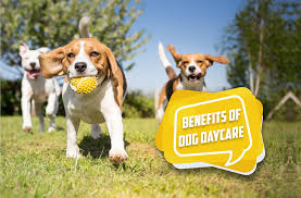 Little white dog will not discriminate by breed, dogs are accepted based on temperament and play style. Benefits Of Dog Daycare A Safe Environment For Building Social Skills Thedogtrainingsecret Com Thedogtrainingsecret Com