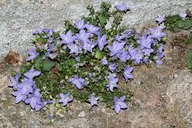 Campanula isophylla Moretti - Portale della Flora d'Italia / Portal to ...