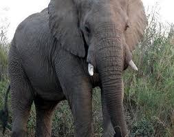 Elephant Loxodonta Africana Animals A Z Animals