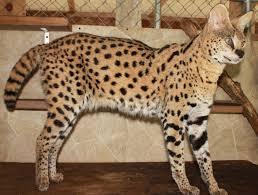 picture of savannah cat f1 savannahs cutting edge cats