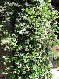 Garden Privacy Fence Ideas Privacy Plants Climbing Plants Ivy Climbing Plants Texas