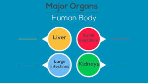 Organs In The Human Body Major Organs Of The Human Body