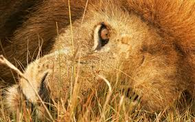 the eye of lion wallpapers hd wallpapers