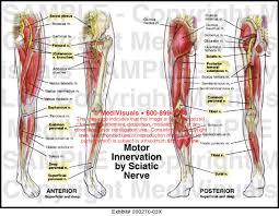 Leg Muscle Innervation Chart Motor Innervation By Sciatic Nerve Medical Illustration