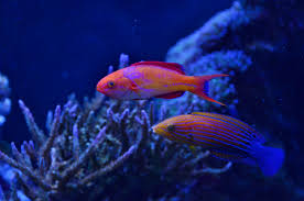 All About Reef Safe Wrasses In Aquaria Reef2reef Saltwater