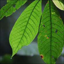 amazon rainforest tree leaves. Rainforest Plant Leaves In Amazon Tree Facts And Details