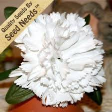 50 seeds carnation white dianthus caryophyllus seeds by seed needs by seed needs flowers 2 65 this carnation flower grows to a height of 18