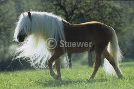 Race- Haflinger Images?q=tbn:ANd9GcQFwOS3RzLbBuZJp2lpUlRbcgBkNhUdb3rc3Y70xWQ0cjQ0c-0k