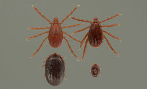Brown Dog Tick Rhipicephalus Sanguineus Latreille