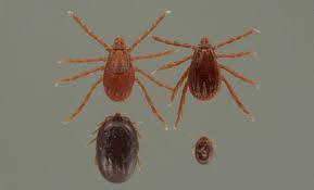 Tick Size Chart Brown Dog Tick Rhipicephalus Sanguineus Latreille