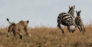 lioness hunting zebra. Simple Zebra A Lioness Hunts Zebras At Maasai Mara National Reserve  Coastweek On Lioness Hunting Zebra S