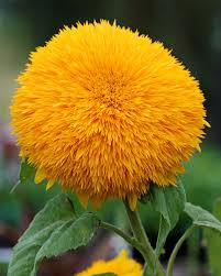 sunflower big bear