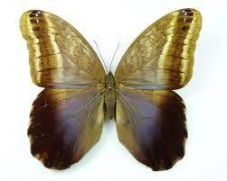 Caligo oedipus Weibchen