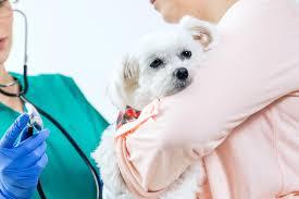 Canine Lymphoma Symptoms Lymph Node Inflammation Lymphadenopathy In Dogs Symptoms