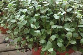turtle vine callisia repens growing