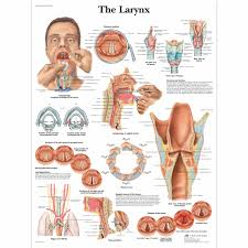 The Larynx Chart