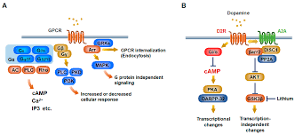 Gpcr Signaling Ijms Free Full Text Potential Utility Of Biased Gpcr