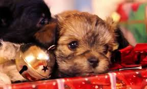 cute christmas puppies. Delighful Cute Viral Video Of The Day Puppy Christmas Cute Puppies Play With Gifts Under  Tree  Syracusecom In Christmas Puppies B