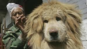 a feeder cleans the hair of a tibetan mastiff at xining purebred tibetan mastiff breeding base
