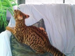 striking c f3 male savannah kitten available