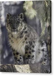 baby snow leopard canvas print snow leopard 1 by everet regal on snow leopard canvas wall art with baby snow leopard canvas prints fine art america