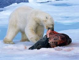 Zoologger: Polar bears evolved to eat junk food | New Scientist