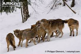 grey wolf size grey wolf photo canis lupus g57840 arkive