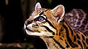 ocelot size 10 facts about ocelots some interesting facts