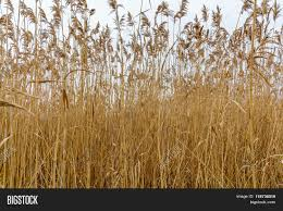Dry Grass Texture Over Image Photo Free Trial Bigstock